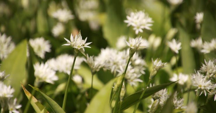 Blommande ramslök med vita blommor och gröna blad