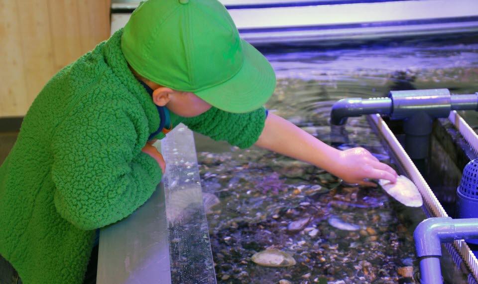 En liten pojke med grön tröja och keps står vid klappakvarium på naturum Kosterhavet och håller en snäcka i handen.