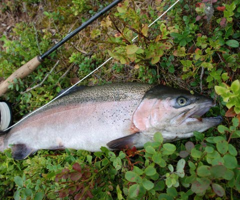 En regnbågsforell som ligger i gräset med ett fiskespö intill.