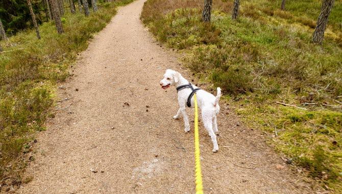 Vit hund i koppel går på Hökensås.