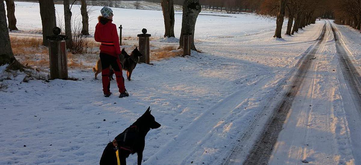 Kvinna med röda byxor och jacka går på promenad med två hundar på en vintrig väg