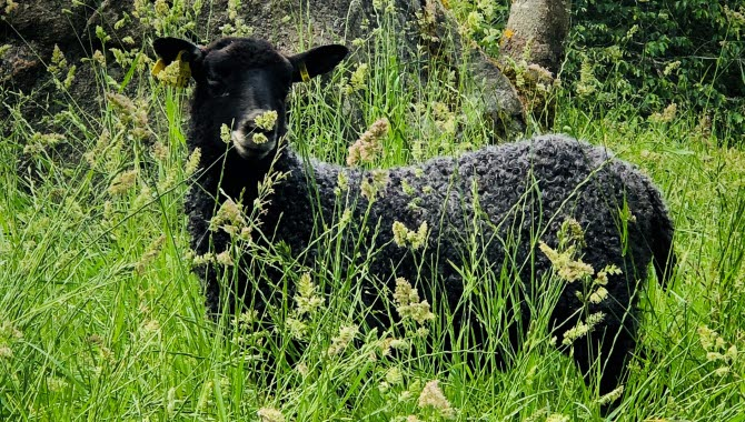 Ett grått gotlandsfår i det höga gröna gräset.